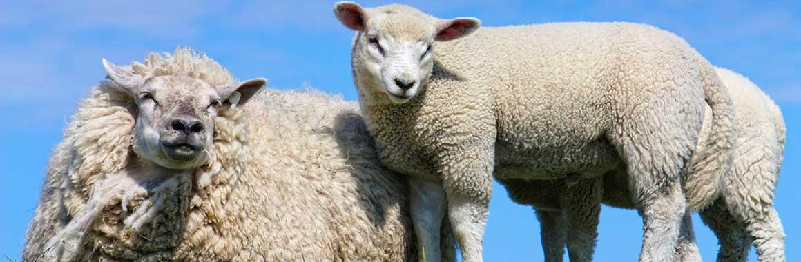 Schafschurwolldecken-kat01